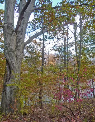 Ever On The Fringe Benefits Of Ivy Leaf Change In The Backwoods Princely Otherness Of