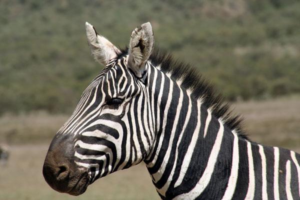 If I had my way, I would tattoo myself with such markings. zebra